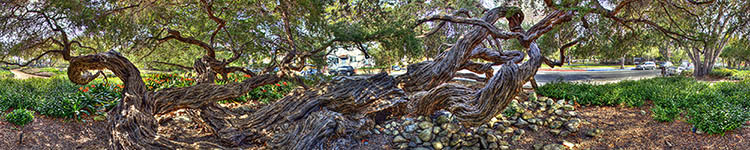Alice Keck Park's Australian Tea Tree - Panoramic 360 degree image